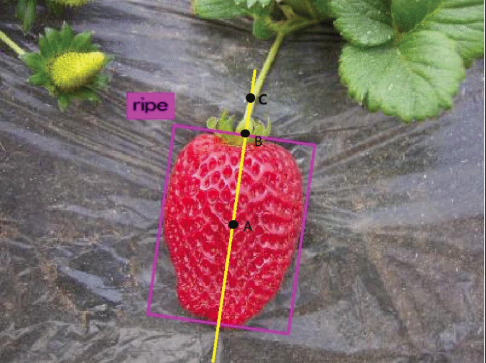 畝仕立てのいちごを果実に触れずに収穫するロボットの研究開発
